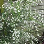 Cytisus Albus  (White Spanish Broom) (Cytisus multiflorus (White Spanish Broom))