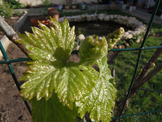First very tiny bunch of grapes? (vitis vinifera Muscat d'Alexandrie)