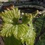 vitis vinifera Muscat d'Alexandrie