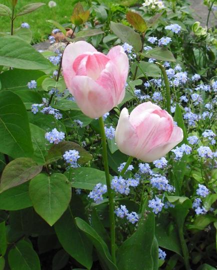Tulipa 'Shirley' (Tulipa 'Shirley')