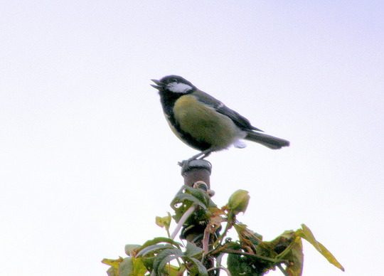 Singing Greater Blue Tit