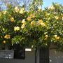 Solandra maxima - Cup of Gold Vine (Solandra maxima - Cup of Gold Vine)