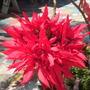 Euphorbia pulcherrima - Christmas Plants, Poinsettia
