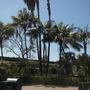 Howea fosteriana  - Kentia Palms (Howea fosteriana  - Kentia Palms)