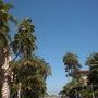 Palms Along The Prado in Balboa Park, San Diego (Phoenix reclinata - Senegal Date Palm, Howea fosteriana)