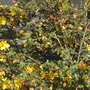 Fremontodendron californicum - California Flannelbush (Fremontodendron californicum - California Flannelbush)