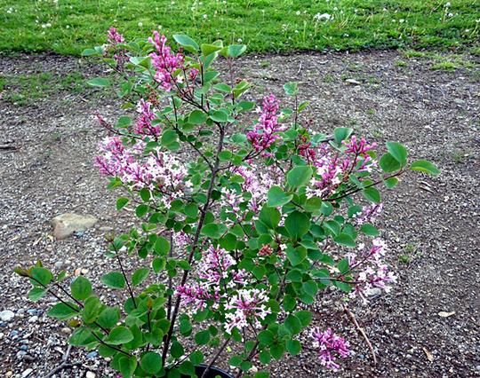 Syringa 'Tinkerbelle' (Syringa meyeri (Lilac))