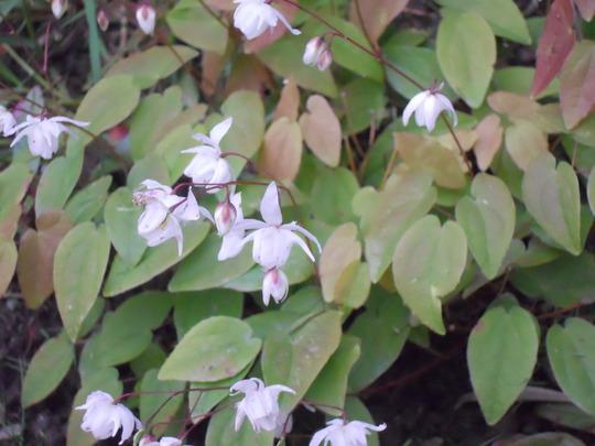 Epimedium x youngianum Niveum