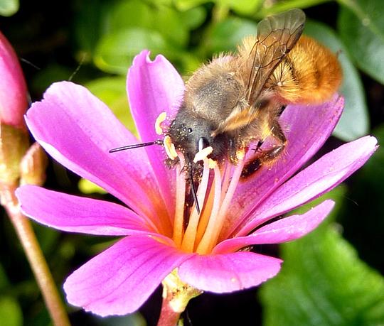 Bee & Lewisia