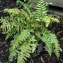 Soft shield fern (Polystichum setiferum (Soft shield fern))