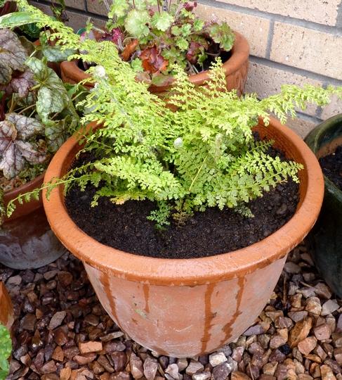 Polystichum setiferum 'Herrenhausen' (Polystichum setiferum (Soft shield fern))