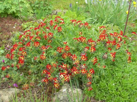 Anthyllis vulneraria var.coccinea (Anthyllis vulneraria var.coccinea)
