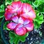 Pacific Bright Red Star Geranium
