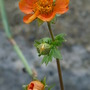 Orange Geum Mrs Bradshaw? (Geum)