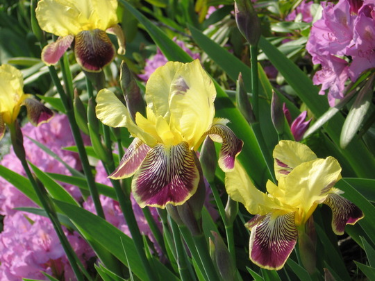 iris (Iris germanica (Orris))