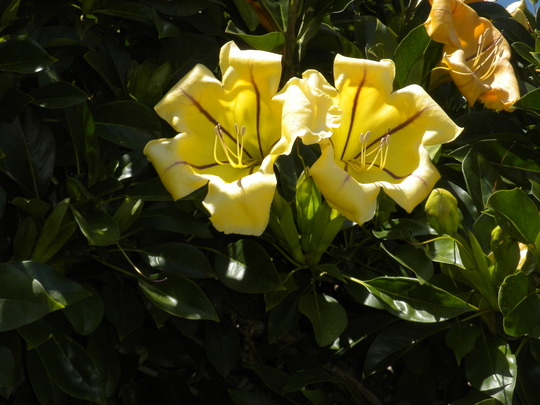 Solandra maxima - Cup of Gold Vine Flowers (Solandra maxima - Cup of Gold Vine Flowers)