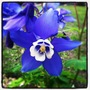 Aquilegia blue.