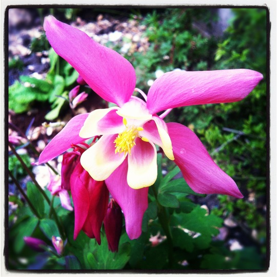 Aquilegia pink