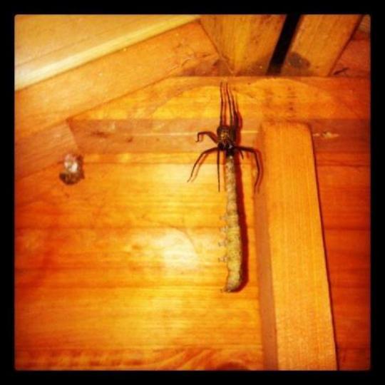 eeeeeeeeeeeeek. Giant spider eating a giant caterpillar in my shed!