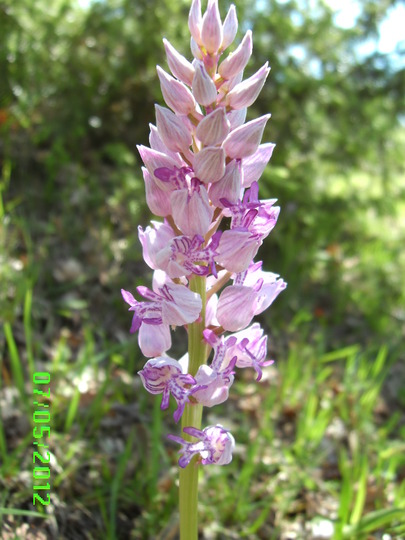 Military orchid? (Orchis Militaris)