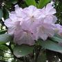 Arboretum_tesarske_mlynany_rhododendrony_082