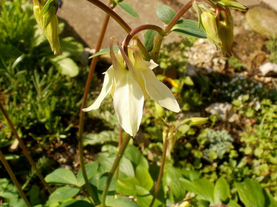 yellow Aquilegia  (Aquilegias cottage scent)