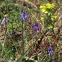 Bluebell - Hyacinthoides non-scripta (Hyacinthoides non-scripta)