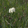 fritillaria meleagris (Fritillaria meleagris (Snake&#x27;s head fritillary))