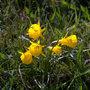 Narcissus bulbocodium (Hoop-petticoat Daffodil)