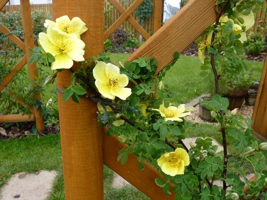 Rosa xanthina 'Canary Bird' (Rosa xanthina 'Canary Bird')