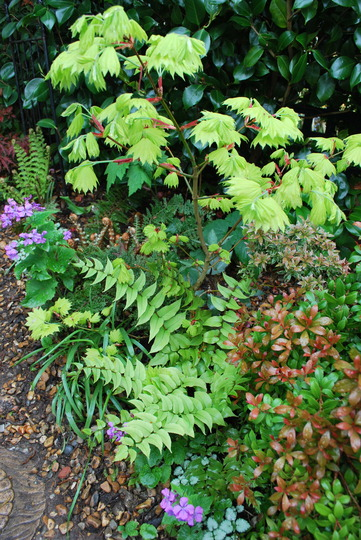 For Karen Acer with Holly Fern... (Cyrtomium falcatum (Japanese Holly Fern))