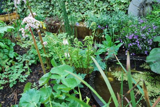 Bog garden with Shuttlecock fern...(Matteuccia struthiopteris) (Matteuccia struthiopteris (Ostrich fern))