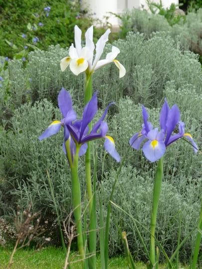 Iris reticulata and Santolina (Iris reticulata (Iris))