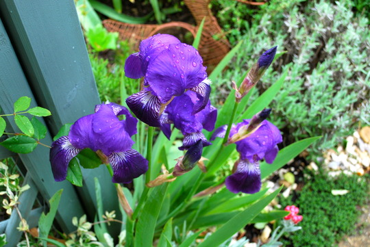 Iris in the rain......