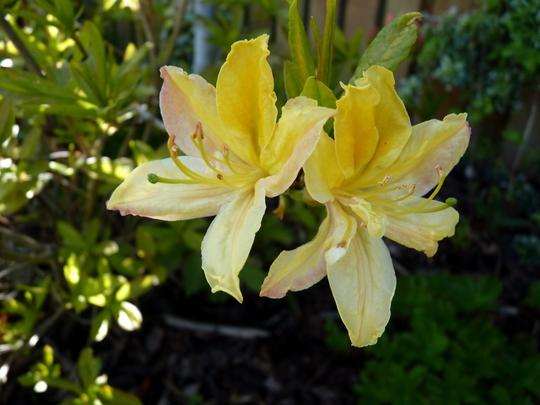 Scented Azalea blooms