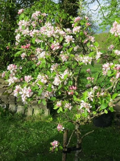 A small apple tree