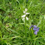 White bluebell (Whitebell?)