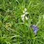 White bluebell (Whitebell?)