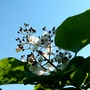 Catalpa blossom (Catalpa bignonioides (Indian bean tree))