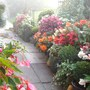 Begonia display, Sept early morning mists.