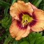 Daylily cross - Leroy X Get Jiggy (Hemerocallis)