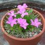 Dianthus glacialis (Dianthus glacialis)