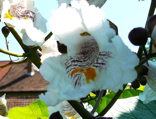 Catalpa blossom (Catalpa bignonioides (Indian bean tree))