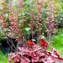 Heuchera : Cherry Cola (Heuchera micrantha (Coral flower))