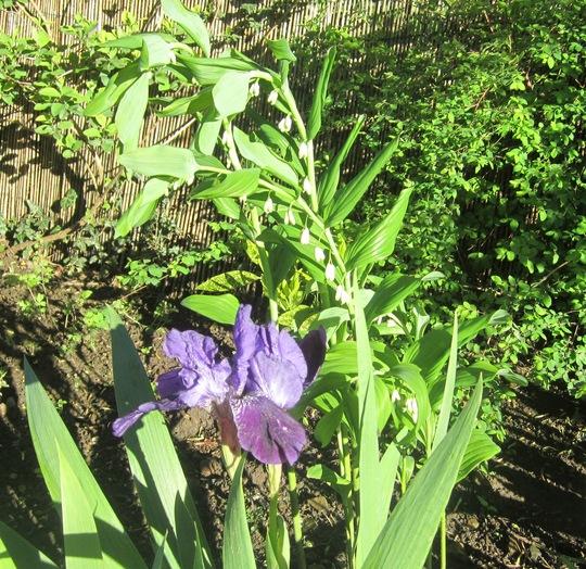 Polegonatum flowers opening now (Polygonatum multiflorum (Polygonatum))