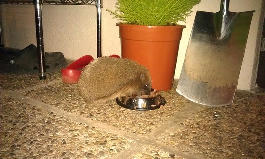 Mrs Tiggy Winkle...hungry after her long sleep