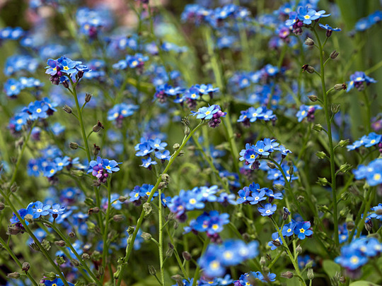 Forget-Me-Not : Spring Symphony  (Forget-Me-Not)