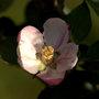 Apple Blossom - Bramley (Malus domestica 'Bramley's Seedling')