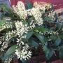 Dendrobium speciosum var. grandiflorum