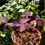 "Oxalis ""Cupido"" (Oxalis triangularis)"